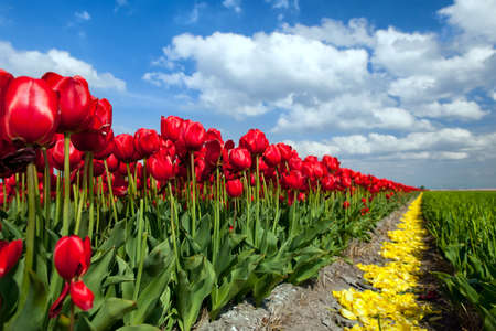north holland: row of red tulips over blue sky, Alkmaar, North Holland