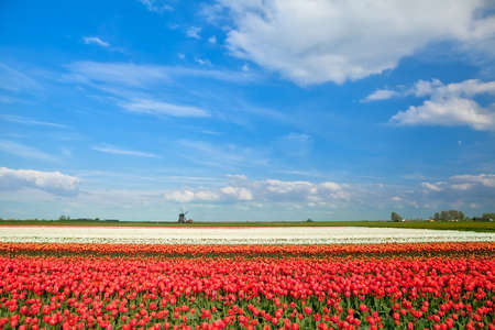 colorful tulip fields and windmill in spring, Alkmaar, North Holland photo