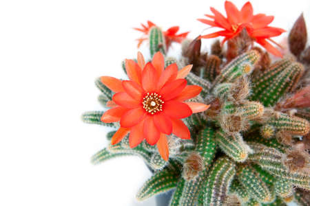 red cactus flower over white background Stock Photo