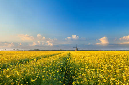 rapeseend flower field and windmill over blue sky, Netherlands