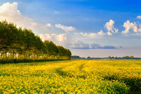 yellow field with rapeseed flowers and blue sky Stock Photo