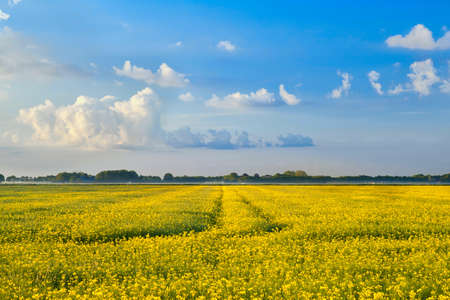 yellow rapeseed flower field and blue sky, Netherlands Stock Photo - 20220006