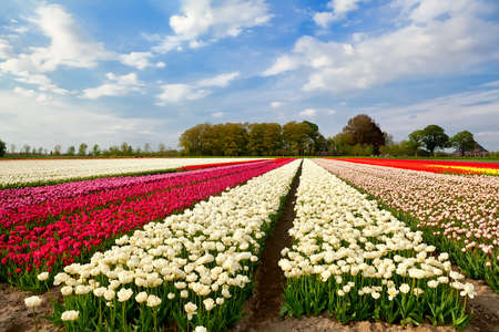 north holland: colorful tulip fields and farmhouse in Alkmaar, North Holland