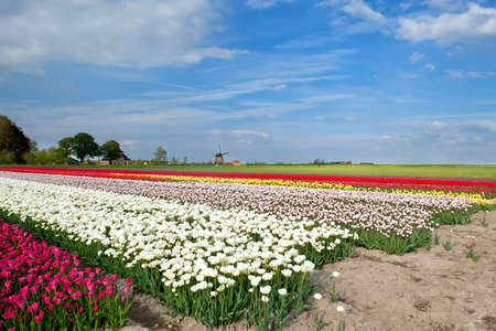 north holland: colorful tulips on field and windmill, Alkmaar, North Holland