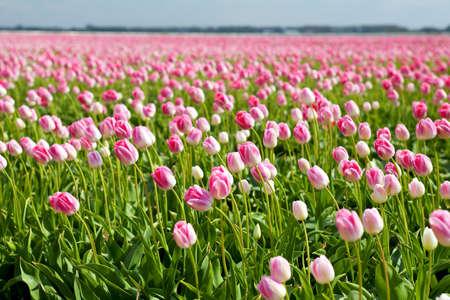 north holland: many pink tulips om spring fields in Alkmaar, North Holland