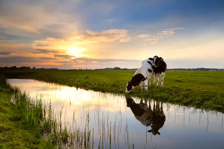two cows on pasture by river at sunset