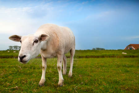 funny suspicious sheep on pasture via wide angle