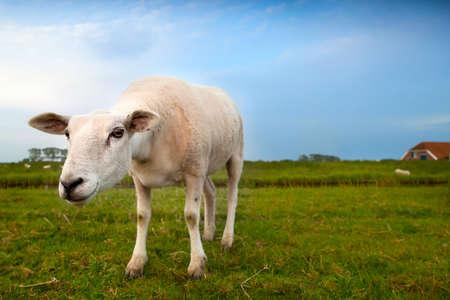 lustig verd�chtige Schafe auf der Weide �ber Weitwinkel