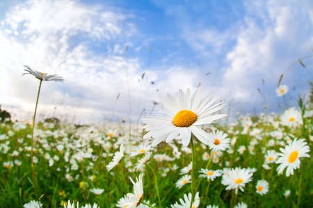 white camomile flower on meadow over blue summer sky photo