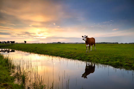 red cow on pasture by river at sunset