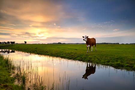 rode koe op de weide door de rivier bij zonsondergang Stockfoto