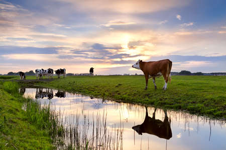 cattle on pasture and river at summer sunset, Groningen
