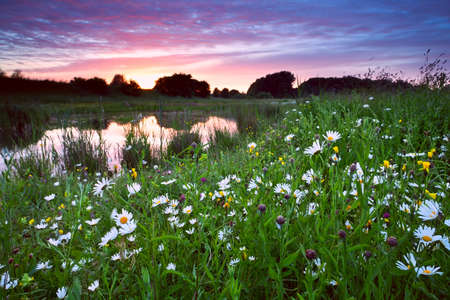 many chamomile flowers by lake at pink dramatic sunset photo