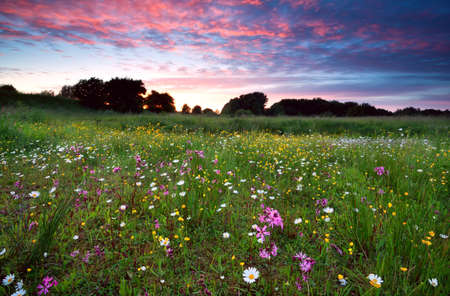 pink dramatic summer sunset over flowering meadow Banco de Imagens