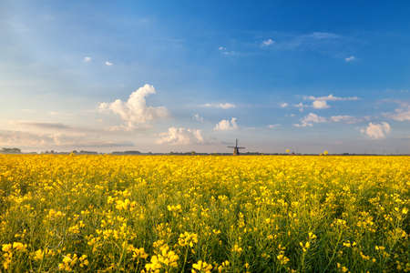 rapeseed flowers field and windmill over blue sky photo