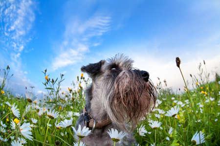 zwergschnauzer dog on meadow with chamomiles over blue sky Banco de Imagens