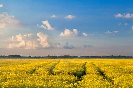 groningen: yellow rapeseed flowers field and blue sky, Groningen, Netherlands