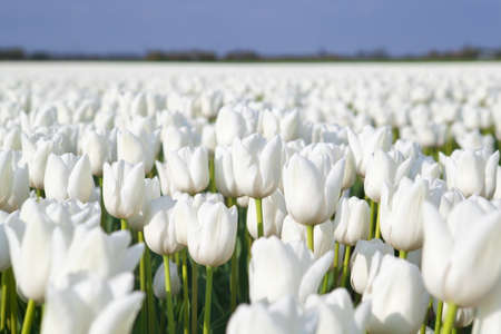 field with many white tulips, Alkmaa, North Holland