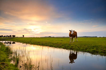 field sunset: cow on pasture reflected in river at sunrise, Groningen, Netherlands
