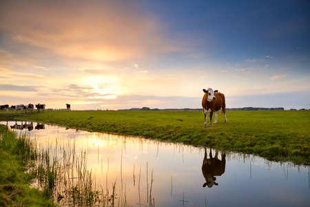 vache au pâturage reflète dans la rivière au lever du soleil, Groningen, Pays-Bas
