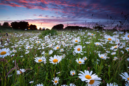 many daisy flowers on summer meadow at sunset
