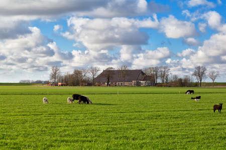 groningen: schapen grazen op weiland bij nederlandse boerderij, Groningen, Nederland Stockfoto