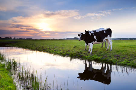 two milk black and white cows by river at sunset Banco de Imagens - 20667777