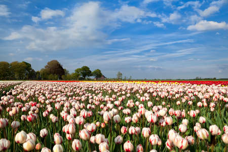 north holland: red and white tulipd on Dutch spring fields, Alkmaar, North Holland