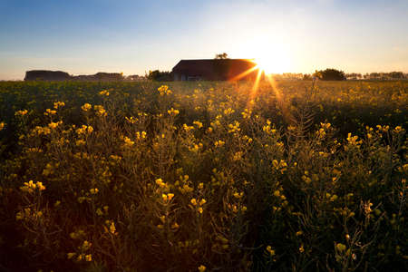 rising star sun over rapeseed flowers field, Groningen, Netherlands photo