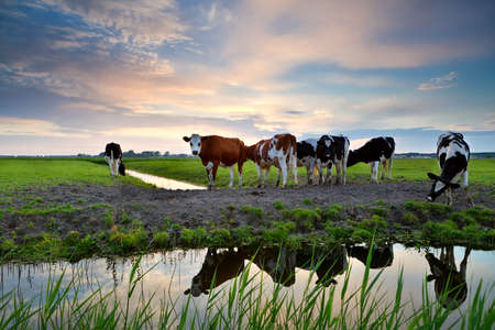 cows on pastoral by river at sunset, Groningen, Netherlands photo
