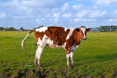 pissing cow on pasture, Groningen, Netherlands