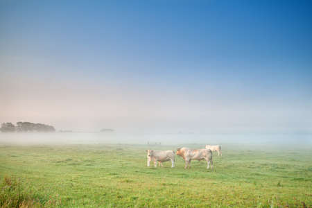 cow and bull in mist on pasture at early morning, Netherlands