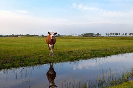 groningen: koe op de weide weerspiegeld in de rivier, Groningen, Nederland Stockfoto