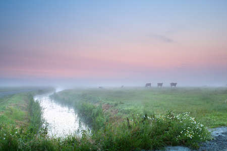 cow silhouettes on misty pasture and daisy flowers