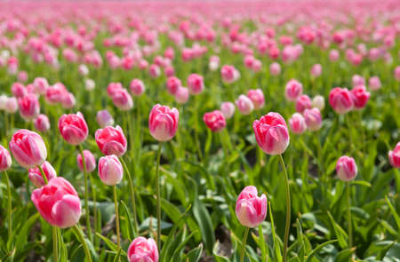 north holland: sunshine through pink tulips in spring, Alkmaar, North Holland Stock Photo