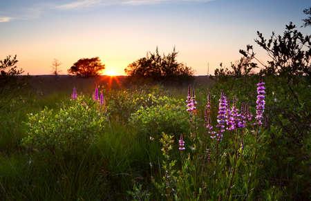 zomer zonsondergang over moeras met wilde bloemen, Focheloerveen, Drenthe, Nederland