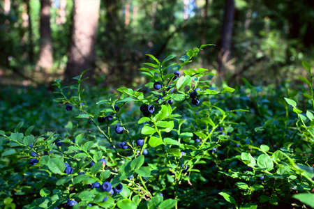 blueberry shrubs with blue fruits in the forest photo
