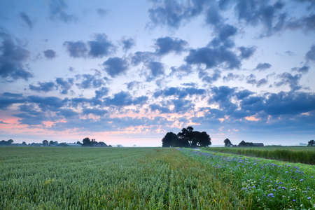 wheat field and wildflowers in summer sunrise photo