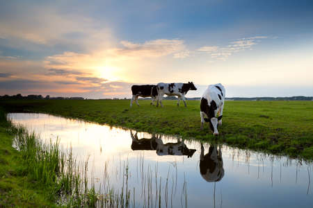 cows grazing on pasture at sunset by river Banco de Imagens