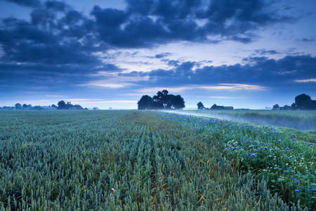 wheat field and flowers in dusk, Dutch farmland photo