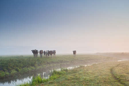 cattle on morning pasture in fog during sunrise