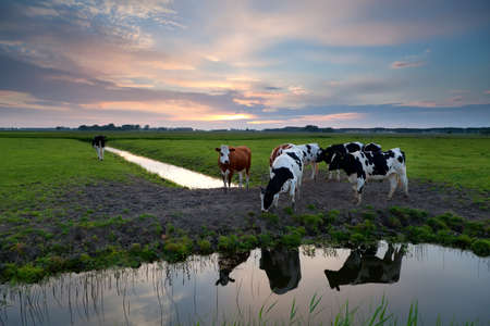 few cows on pasture by river at sunset