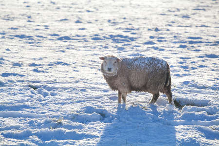 sheep outdoors on snow in winter, Holland photo