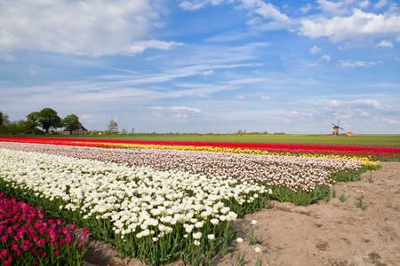 colorful tulips on spring fields and windmill, North Holland photo
