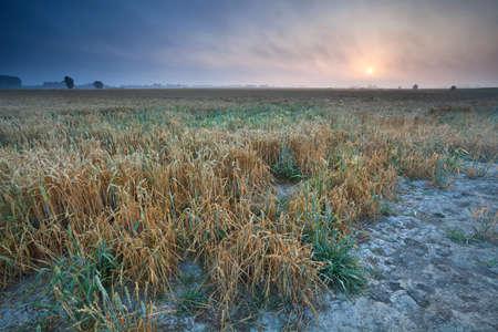 groningen: zomer zonsopgang boven tarweveld, Groningen, Nederland Stockfoto