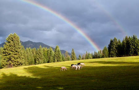 colorful rainbow over alpine pasture with sheep, Bavarian Alps, Germany photo