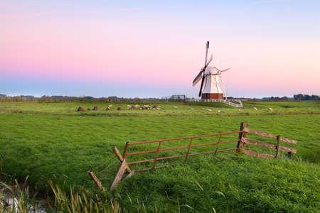 groningen: sheep and white Dutch windmill at sunrise, Groningen, Netherlands