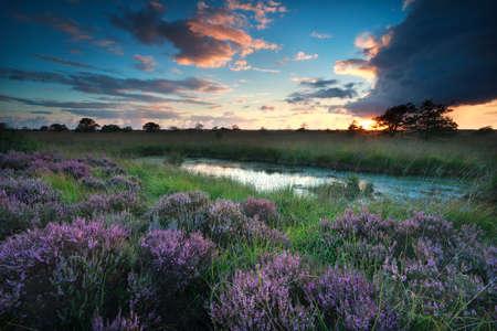 sunset over swamp with flowering pink heather, Fochteloerveen, Netherlands