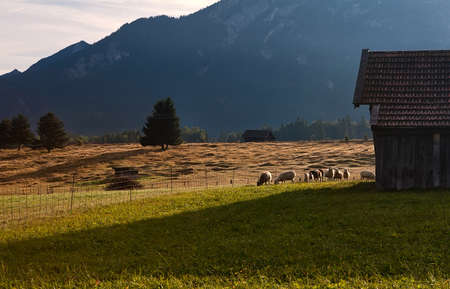 sheep grazing on alpine pasture, Bavarian, Alps, Germany photo