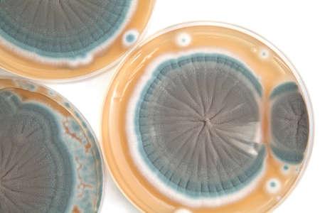 Penicillium fungi on Petri dishes background
